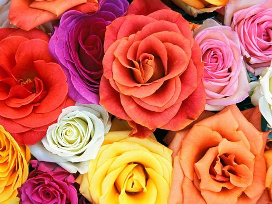 Róże obraz #1237