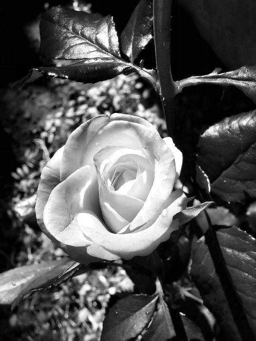 Róże obraz #1242
