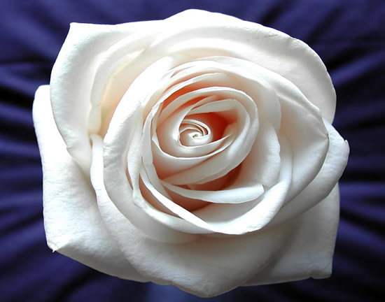 Róże obraz #1247