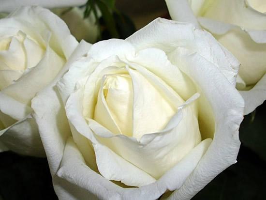 Róże obraz 3