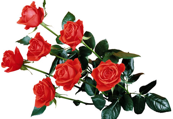 Róże obraz 10