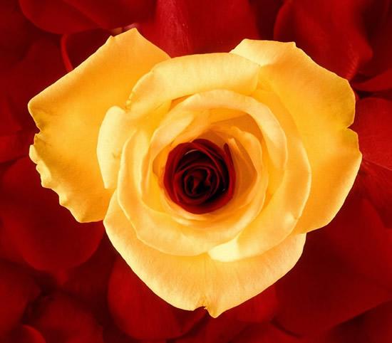 Róże obraz 15