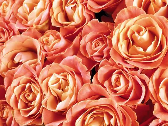Róże 4