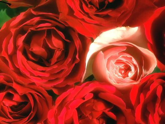 Róże obraz 12