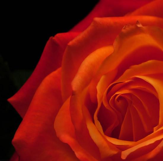 Róże obraz 5