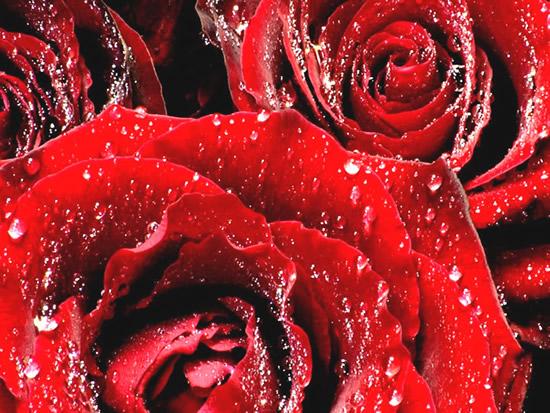 Róże 6