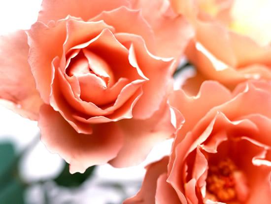 Róże obraz 9