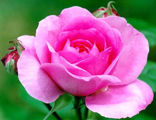 Róże obraz 2
