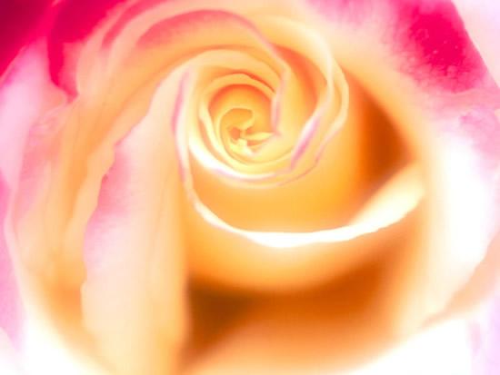 Róże obraz 6